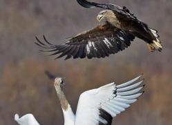 white-tailed-eagle-japan5862copyright-photographers-on-safari-com