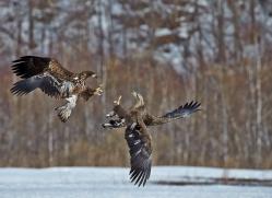 white-tailed-eagle-japan5864copyright-photographers-on-safari-com