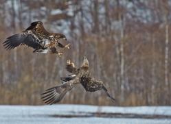 white-tailed-eagle-japan5865copyright-photographers-on-safari-com