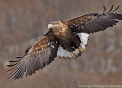 white-tailed-eagle-japan5866copyright-photographers-on-safari-com