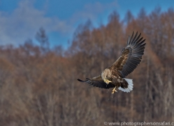 white-tailed-eagle-japan5870copyright-photographers-on-safari-com