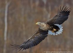white-tailed-eagle-japan5872copyright-photographers-on-safari-com