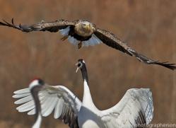 white-tailed-eagle-japan5874copyright-photographers-on-safari-com