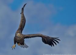 white-tailed-eagle-japan5875copyright-photographers-on-safari-com