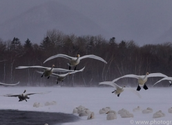 whooper-swan-japan5821copyright-photographers-on-safari-com