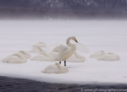 whooper-swan-japan5823copyright-photographers-on-safari-com