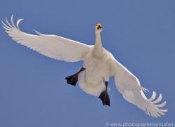 whooper-swan-japan5827copyright-photographers-on-safari-com