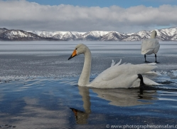 whooper-swan-japan5835copyright-photographers-on-safari-com