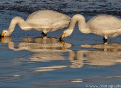 whooper-swan-japan5839copyright-photographers-on-safari-com
