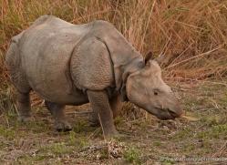 asian-one-horned-rhino-3908-india-copyright-photographers-on-safari-com