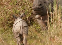 asian-one-horned-rhino-3916-india-copyright-photographers-on-safari-com