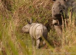 asian-one-horned-rhino-3917-india-copyright-photographers-on-safari-com