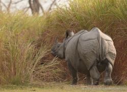 asian-one-horned-rhino-3919-india-copyright-photographers-on-safari-com