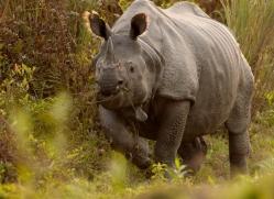 asian-one-horned-rhino-3920-india-copyright-photographers-on-safari-com