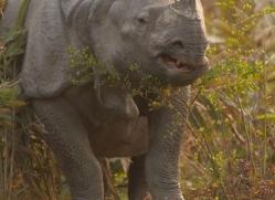 asian-one-horned-rhino-3924-india-copyright-photographers-on-safari-com