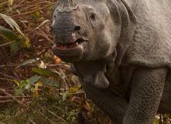 asian-one-horned-rhino-3927-india-copyright-photographers-on-safari-com