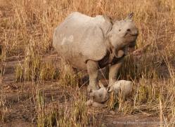 asian-one-horned-rhino-3928-india-copyright-photographers-on-safari-com