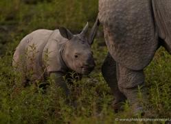 asian-one-horned-rhino-3930-india-copyright-photographers-on-safari-com