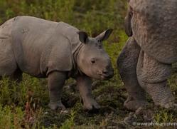 asian-one-horned-rhino-3933-india-copyright-photographers-on-safari-com