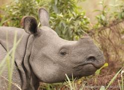 asian-one-horned-rhino-3935-india-copyright-photographers-on-safari-com