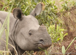 asian-one-horned-rhino-3936-india-copyright-photographers-on-safari-com