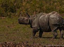 asian-one-horned-rhino-3938-india-copyright-photographers-on-safari-com