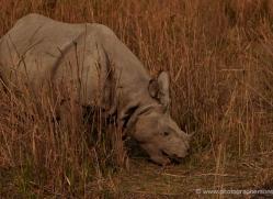 asian-one-horned-rhino-3939-india-copyright-photographers-on-safari-com