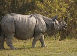 asian-one-horned-rhino-3910-india-copyright-photographers-on-safari-com