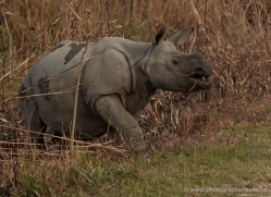 asian-one-horned-rhino-3912-india-copyright-photographers-on-safari-com
