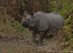 asian-one-horned-rhino-3913-india-copyright-photographers-on-safari-com