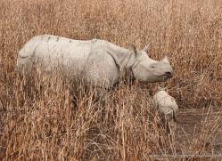 asian-one-horned-rhino-3914-india-copyright-photographers-on-safari-com