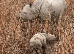 asian-one-horned-rhino-3915-india-copyright-photographers-on-safari-com