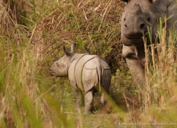 asian-one-horned-rhino-3917-india-copyright-photographers-on-safari-com