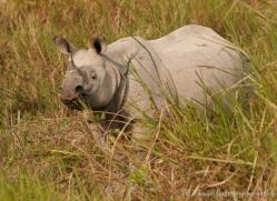 asian-one-horned-rhino-3918-india-copyright-photographers-on-safari-com