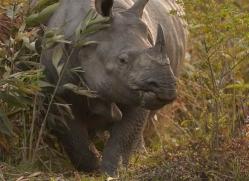 asian-one-horned-rhino-3922-india-copyright-photographers-on-safari-com