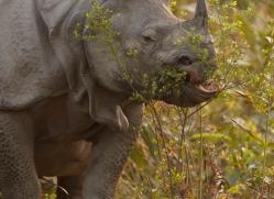 asian-one-horned-rhino-3923-india-copyright-photographers-on-safari-com