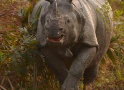 asian-one-horned-rhino-3925-india-copyright-photographers-on-safari-com