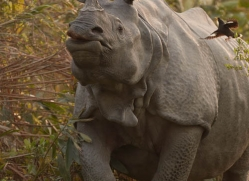 asian-one-horned-rhino-3926-india-copyright-photographers-on-safari-com
