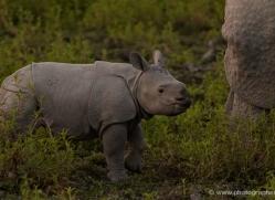 asian-one-horned-rhino-3931-india-copyright-photographers-on-safari-com