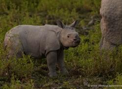 asian-one-horned-rhino-3932-india-copyright-photographers-on-safari-com