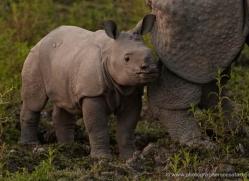 asian-one-horned-rhino-3934-india-copyright-photographers-on-safari-com