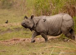 asian-one-horned-rhino-3937-india-copyright-photographers-on-safari-com