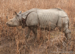 asian-one-horned-rhino-3941-india-copyright-photographers-on-safari-com