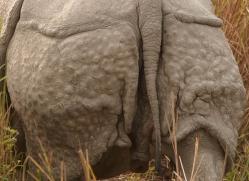 asian-one-horned-rhino-3945-india-copyright-photographers-on-safari-com
