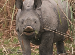 asian-one-horned-rhino-3947-india-copyright-photographers-on-safari-com