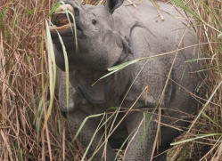 asian-one-horned-rhino-3948-india-copyright-photographers-on-safari-com