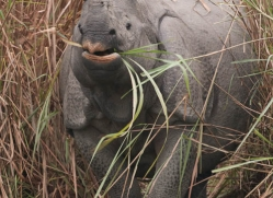 asian-one-horned-rhino-3949-india-copyright-photographers-on-safari-com