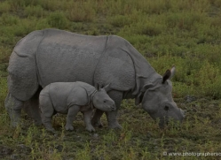 asian-one-horned-rhino-3950-india-copyright-photographers-on-safari-com