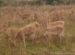 barasingha-deer-swamp-deer-3879-india-copyright-photographers-on-safari-com