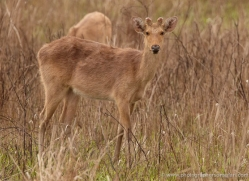 barasingha-deer-swamp-deer-3881-india-copyright-photographers-on-safari-com